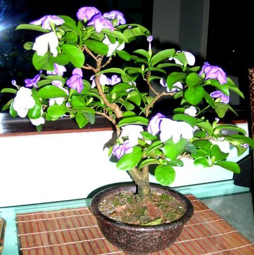 manaca de jardim em vaso : manaca de jardim em vaso:apesar de tratar se de um arbusto quando plantado no