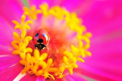 My Secret Garden (*Sakura*) Tags: pink red summer flower macro yellow japan explore ladybird ladybug sakura     supershot platinumphoto