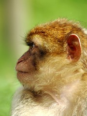Barbary Macaque 02