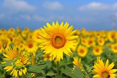 Sunflower (mrhayata) Tags: summer sky cloud field japan geotagged blog sunflower 日本 花 夏 雲 空 yamanashi 向日葵 floewr 畑 ひまわり hokuto ヒマワリ akeno 山梨県 北杜市 mrhayata 明野町 geo:lon=138460034 geo:lat=35779960