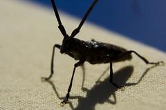 beetle (kyle_b_thomas) Tags: macro bug beatle