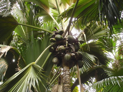 Female Coco de Mer plant in Vallee de Mai on Praslin