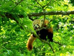 Red Panda (Maia C) Tags: detroitzoo zoo detroit kodakz712 kodakeasysharez712is maiac comment lj redpanda panda arboreal