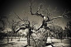 Boab Prison Tree (C) 2008