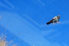 Pigeon (Surely Not) Tags: scotland nikon edinburgh pigeon moo d80 yourphototips