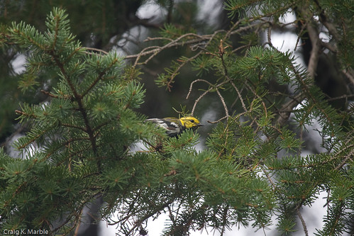Black-throated Green Warbler (1 of 2)