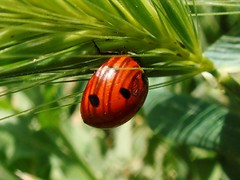 Hi Dear Ladybird !! (Iranian Roseate ...) Tags: wild nature beautiful beauty bug iran best irannature naturebeauty beautifulbug wildbug flowerbugs iranbeauty iranianphotoghrapher gardeninhabitants earthinhabitants