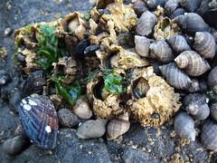 Snails, Sea Lettuce, Barnacles, and Mussels, Oh My! (mishakitty78) Tags: ocean beach oregon pacific pacificocean haystackrock seashore tidepools tidepool tidal tides canonbeach shorelife