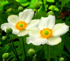 Two Anemones (Kurlylox1) Tags: flowers white yellow garden petals stamens anemone buds japonica cubism japanesewindflowers awesomeblossoms