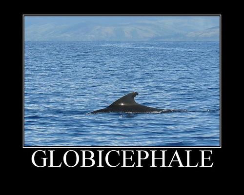 Globicephale