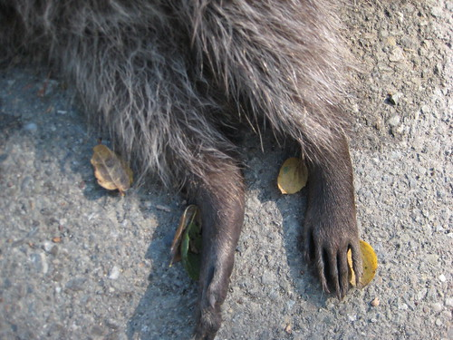 Raccoon Feet
