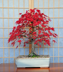 Japanese Mountain Maple Bonsai Tree (Acer palmatum) Red Autumn Colours