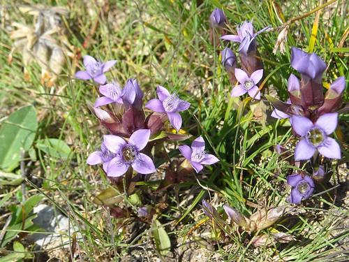 Field Gentian (Gentiana campestris)