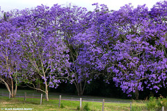 Jacaranda mimosifolia - Jacaranda (Black Diamond Images) Tags: flowers spring purple australia nsw jacaranda purpleflowers taree floweringtrees jacarandas bignoniaceae bdi jacarandamimosifolia beautifultrees purplef blackdiamondimages purplefloweringtrees manningvalleytourism