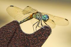 A Smile in the Garden (Jeff Clow) Tags: macro nature closeup garden bravo dragonfly explore dfw jeffclow ©jeffrclow damniwishidtakenthat