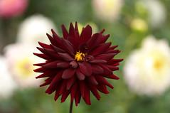 Dahlia / ダリア (Yoichi_) Tags: dahlia flowers japan geotagged nikon bokeh d300 ダリア 神代植物公園 geo:lat=35670328 tokyometropolitanjindaibotanicalpark geo:lon=139545781