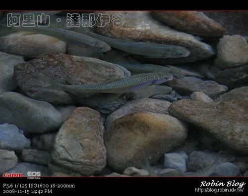 你拍攝的 20081115數位攝影_阿里山之旅148.jpg。