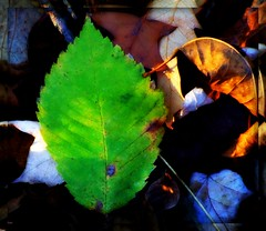 ****green**** (mightyquinninwky) Tags: autumn light sunlight fall leaves geotagged leaf woods shadows hiking kentucky lowlands hike autumncolours onwhite picnik fallenleaves fallcolours onblack westernkentucky riverbottoms floodplains wildlifemanagementarea sloughs uniontownkentucky ohioriverbottoms unioncountykentucky uniontownriverbottoms ohiorivervalley viewonblack commonwealthofkentucky geo:lat=3779405 thebluegrassstate viewonwhite sloughskentuckywildlifemanagementarea hoglandsloughs hoglandsloughsroad geo:lon=87860756
