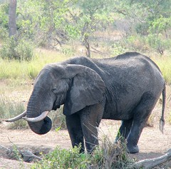 A Lone Bull Elephant (Colorado Sands) Tags: africa wild elephant male nature animals southafrica african wildlife south bull safari afrika nationalparks mammals za sdafrika krugernationalpark kruger limpopo southafrican knp sudafrica elefantes  loxodontaafricana afriquedusud lafrique zuidafrika elefanter photoanimalire limpopoprovince sandraleidholdt sudafrika largemammals surfrica afrikasafari leidholdt sandyleidholdt