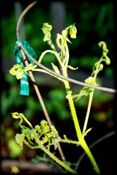 bad-tomato-plant2