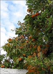 Persimmons in the morning