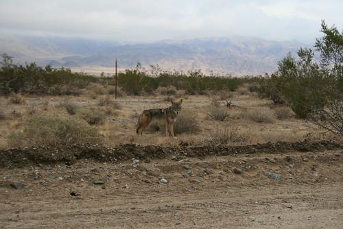 Desert Coyote