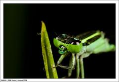 August_IMG_0697 (yimING_) Tags: macro ant bugs bee canonmpe65 dragonflydamselcanon mpe65macrobugsantbeedragon