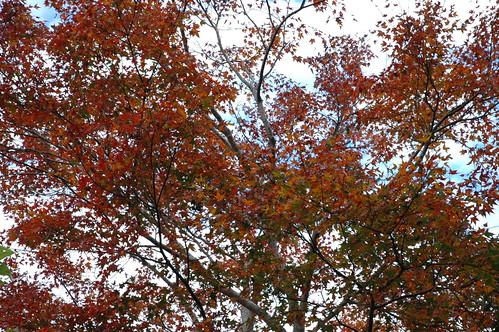 霞喀羅古道養老端登山口的楓紅