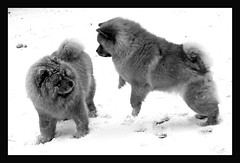 Snow bunnies (electra-cute) Tags: bw dog snow garden day meg chow blizzard lillian blindphotographers