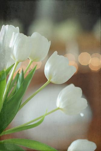 tuliptex2