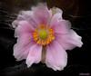 "Fragility (Bessula) Tags: pink flower macro texture beauty garden anemone soe gbr fragility fantasticflower platinumphoto memoriesbook bessula mimamorflowers abovealltherest 100commentgroup oraclex mandalalight ""flickraward"""