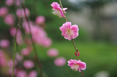 Plum Flowers (h orihashi) Tags: flowers flower macro nature japan pentax plum hiroshima   breathtaking  globalvillage aclass  naturesfinest blueribbonwinner bej mywinners diamondheart platinumphoto impressedbeauty flickrhearts k20d diamondclassphotographer flickrdiamond superhearts lunarvillage excellentphotographerawards freenature heartawards diamondstars platinumheartaward flowerorfoliagedetail macromarvels betterthangood justpentax theperfectphotographer flickrestrellas pentaxk20d highqualityimages alemdagqualityonlyclub damniwishidtakenthat photographersgonewild simplythebestflowers flickrflorescloseupmacros mallmixstaraward tophonorofphotographerparadise