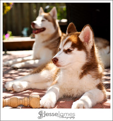 Our New Husky! (Jesse James Photography) Tags: dog pet cute animal puppy outdoors nikon husky siberianhusky d700