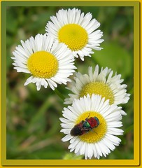 Colourful fly with daisies (farfalla1308) Tags: flowers nature fly insects blumen daisy fiori insekten insetti fliegen