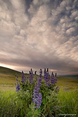 Simple times (Vinnyimages) Tags: flowers nature clouds oregon sunrise landscape picture washingtonstate ze dalles washingtion distagont2821mm 21mmziess