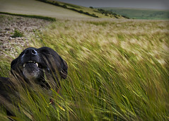Rosie's Favourite Thing (andyleates) Tags: dog grass downs brighton wheat blowing staffordshire staffy staffies