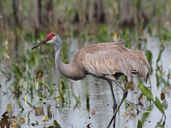 Sandhill Crane in the Prairies East side April 2011
