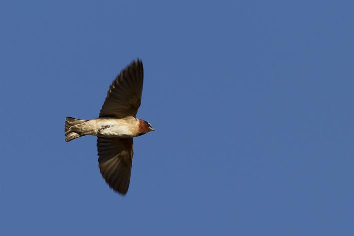 060711_bird_cliffSwallow