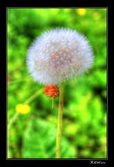 Lwenzahn (X4Wien) Tags: flower nature canon natur blume hdr lwenzahn 550d t2i