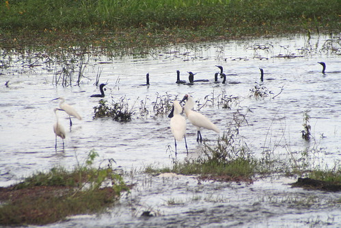 Royal Spoonbills and Darters