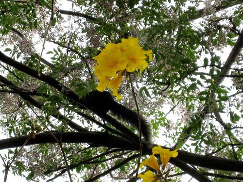 有松鼠的黃花風鈴木
