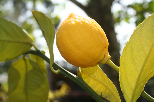because i never fail to be fascinated by lemons on the tree...