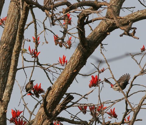 red-vented bulbuls in coral tree