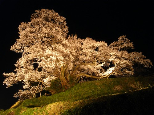 仏隆寺(千年桜)ライトアップ-04
