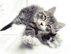 Morning (B@rbar@ (Barbara Palmisano)) Tags: morning pet white animal cat kitten kitty gato gatto bianco animale cucciolo gattino mattino risveglio photographyrocks mywinners kittyschoice diamondclassphotographer