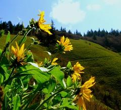 Embrace the Brightside (Erik Hovmiller) Tags: road wild flower yellow wagon washington trail gorge hillside weldon balsamroot naturesfinest