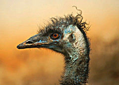 bad hair day (Sanky S) Tags: bird closeup hair nikon bad emu 70300 flickrsbest colorphotoaward theperfectphotographer goldenpalmaward naturallymagnificent
