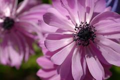 Pink flower (The Sandy) Tags: pink flowers flower macro closeup pinkflower bloemen bollen flowercloseup roze bloem flowermacro rozebloem tulpenbol