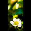 Verticals: Strawberry blossom (manganite) Tags: plants white macro green nature colors leaves yellow closeup digital germany geotagged interestingness spring strawberry nikon colorful europe bonn dof seasons bokeh tl framed blossoms explore d200 nikkor dslr 50mmf18 may7 naturesfinest northrhinewestphalia interestingness470 i500 utatafeature manganite nikonstunninggallery gluckstrasse date:year=2008 may72008 geo:lat=50733193 geo:lon=7090266 date:month=may format:orientation=portrait format:ratio=21