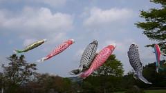 Karp banners at the Kokeshi museum (Otomodachi) Tags: red sky fish color colour festival japan clouds garden festive holidays colorful wind wolken blowing carp colourful tuin banners lucht sendai rood vis vissen kleurrijk kleur vlaggen goldenweek karper kleurig waaien feestelijk karpers schubben wapperen